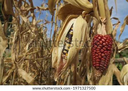 Original red yellow black purple corn, healthy organic corn cob from mexico, like indigenous people usually grow and eat, real corn without chemical changing