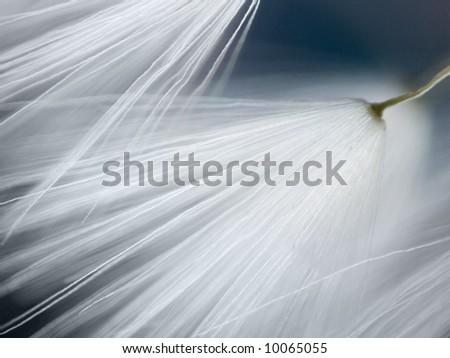 original soft macro of dandelion
