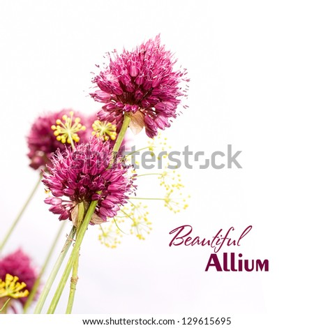 Ornamental Allium. Beautiful garden flower