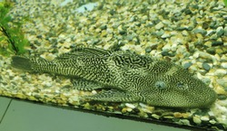 Ornamental aquarium fish - suckermouth catfish. Scientific name - Hypostomus plecostomus. This fish is often purchased for its ability to clean algae from fish tanks.