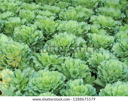 Ornamental cabbage Green leafy vegetables in a fresh, clean, non-toxic concept