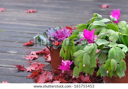 ornamental cabbage with thanksgiving cactus on wooden terrace