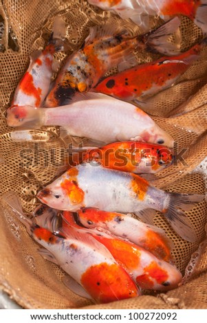 ornamental colorful fish - common carp in hand net