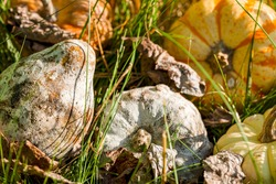 ornamental gourds and pumpkins bought for halloween started being covered with white mold and got rotten. These rotten fruits are discarded in forest on a sunny autumn day. Fungal outgrowth is visible