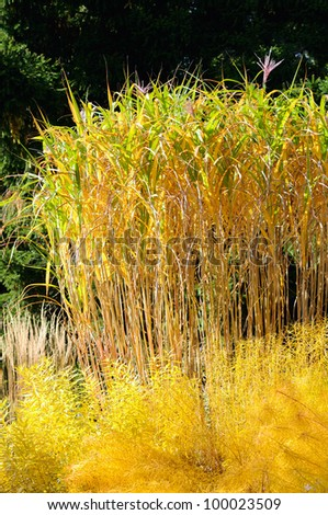 Ornamental grass in the fall