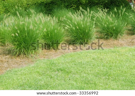 Ornamental grasses in a row with space stock photo for Ornamental grasses for small spaces