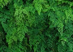 Ornamental green plant wall background. Green nature leaves background of Lush Adiantum capillus-veneris or Southern maidenhair fern or black maidenhair fern or maidenhair fern plant.