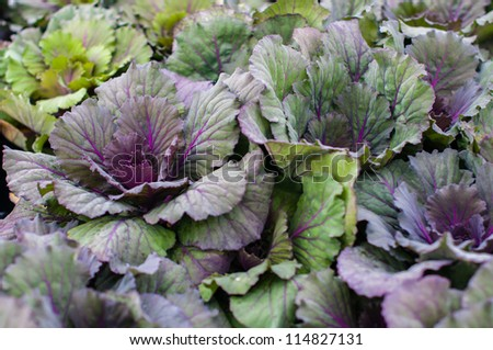 Ornamental Kale is a type of cabbage.  While it can be eaten, it is not as tasty as varieties that are specifically bred for culinary purposes.