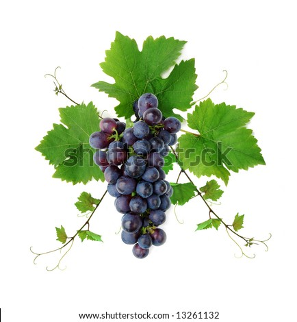 Ornamental motif of blue wine grape, isolated