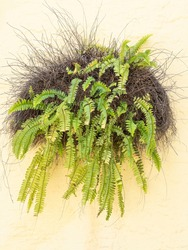 Ornamental outdoor fern with many drooping fronds (unidentified species) growing from a planter on an exterior stucco wall of a downtown storefront in southwest Florida
