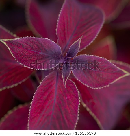 ornamental plant with red leaves