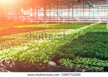 Ornamental plants and flowers grow for gardening in modern hydroponic greenhouse nursery or glasshouse, industrial horticulture, cultivation of seedlings technology #1084756280