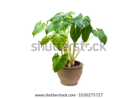Ornamental Plants on pot  isolated on white background