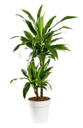Ornamental potted Dracaena janet craig, Dragon plant or Water Stick Plant with striped green sword-shaped glossy leaves in a side view isolated on white