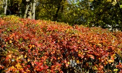 Ornamental shrub - cotoneaster brilliant. Colorful cotoneaster bushes in the fall. Leaves are bright, yellow-red and orange-crimson