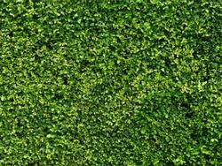Ornamental shrubs ,Wall shrubs