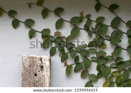 Ornamental shrubs ,Wall shrubs #1199096419