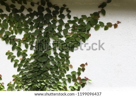 Ornamental shrubs ,Wall shrubs #1199096437