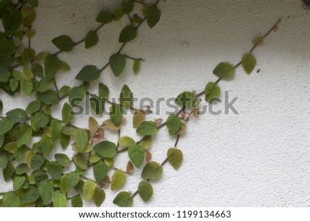 Ornamental shrubs ,Wall shrubs #1199134663