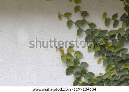 Ornamental shrubs ,Wall shrubs #1199134684