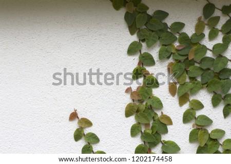 Ornamental shrubs ,Wall shrubs #1202174458