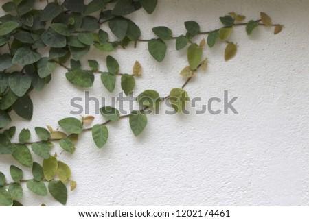 Ornamental shrubs ,Wall shrubs #1202174461