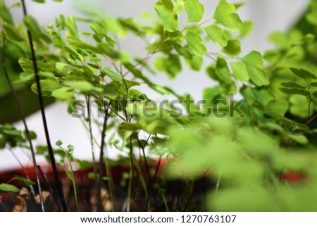 Ornamental shrubs ,Wall shrubs #1270763107