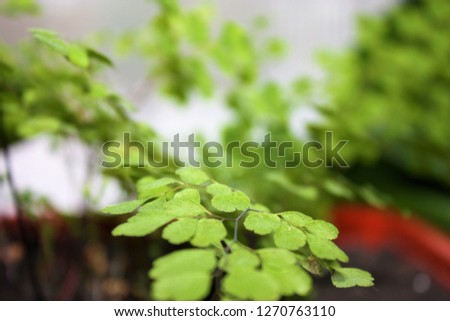 Ornamental shrubs ,Wall shrubs #1270763110
