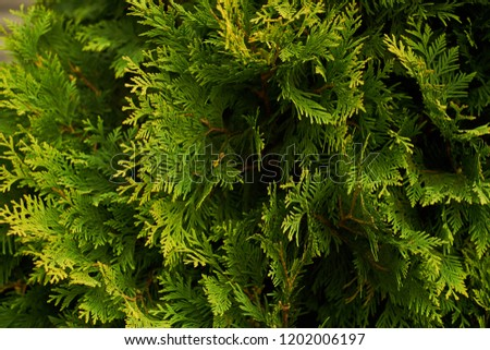 Ornamental shrubs Wall shrubs green background bush #1202006197