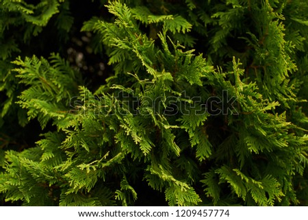 Ornamental shrubs Wall shrubs green background bush #1209457774