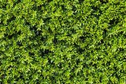Ornamental shrubs ,Wall shrubs in outdoor