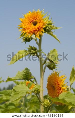 ornamental sunflowers beautiful plantation agriculture