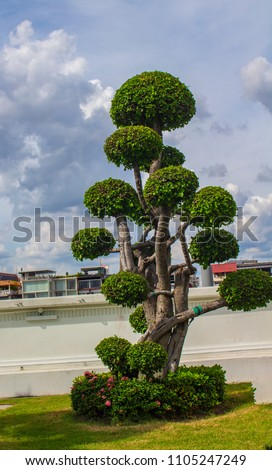 Stock Photo Ornamental tree for home gardening