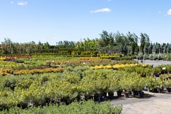 Ornamental trees and shrubs in pots for sale in the summer nursery center against a blue sky