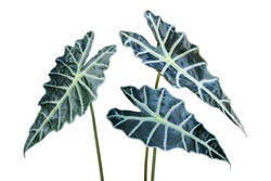 Ornamental Tropical Leaves of Alocasia sanderiana W. Bull, Kris Plant Isolated on white Background
