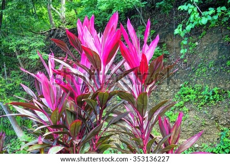Free Photos Ornamental Tropical Plant Cordyline With Pink Blade