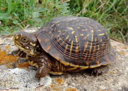 Ornate Box Turtle, Terrepene ornata
