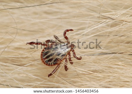 Ornate cow tick, also known as the ornate dog tick, meadow tick or marsh tick hiding in a dog fur. Pictureof the common parasite occurring in Europe.