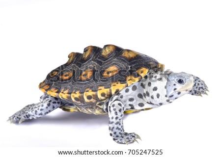 Ornate diamondback terrapin, Malaclemys terrapin macrospilota - Shutterstock ID 705247525