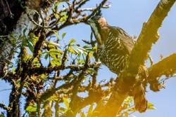 Ornate hawk-eagle (Spizaetus ornatus), Costa Rica
