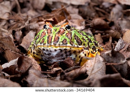 Ornate horned frog sitting in dead leaves
