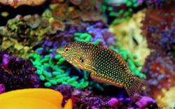 Ornate Leopard wrasse fish in coral reef aquarium tank