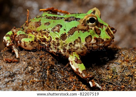 Ornate pac man frog/horned frog