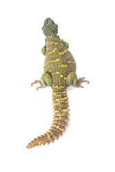 Ornate spiny-tailed lizard (Uromastyx ornata ornata), Egypt