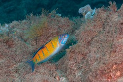 Ornate wrasse (Thalassoma pavo) Azores Islands, Portugal