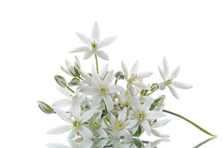 Ornithogalum umbellatum .Beautiful white flowers on a white background
