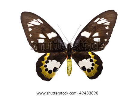 Ornithoptera rothschildi is a member of the family PAPILIONIDAE from Australasia / Indomalaya (Australia).