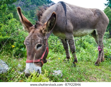Orsiera Park, Piedmont Region, Italy: a donkey free in the park