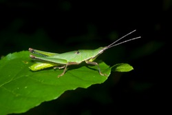 Orthoptera Insect, Green Grasshopper on leaf