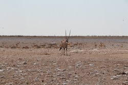 oryx antilope on a game drive in africa